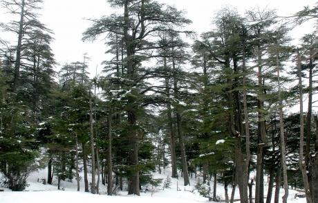 Bosque de cedros en los montes del Atlas, Ifrane