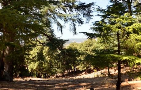 Bosque de cedros en Azrou, Marruecos.